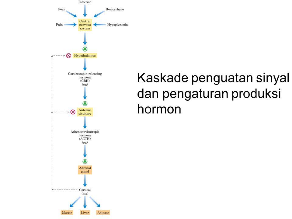 Kaskade penguatan sinyal dan pengaturan produksi hormon
