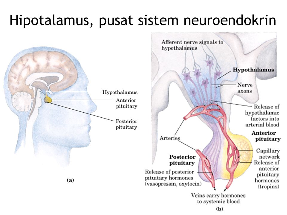 Hipotalamus, pusat sistem neuroendokrin