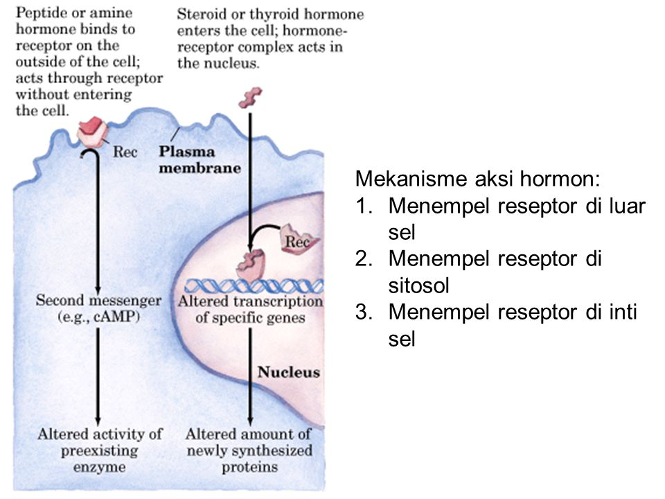 Mekanisme aksi hormon: