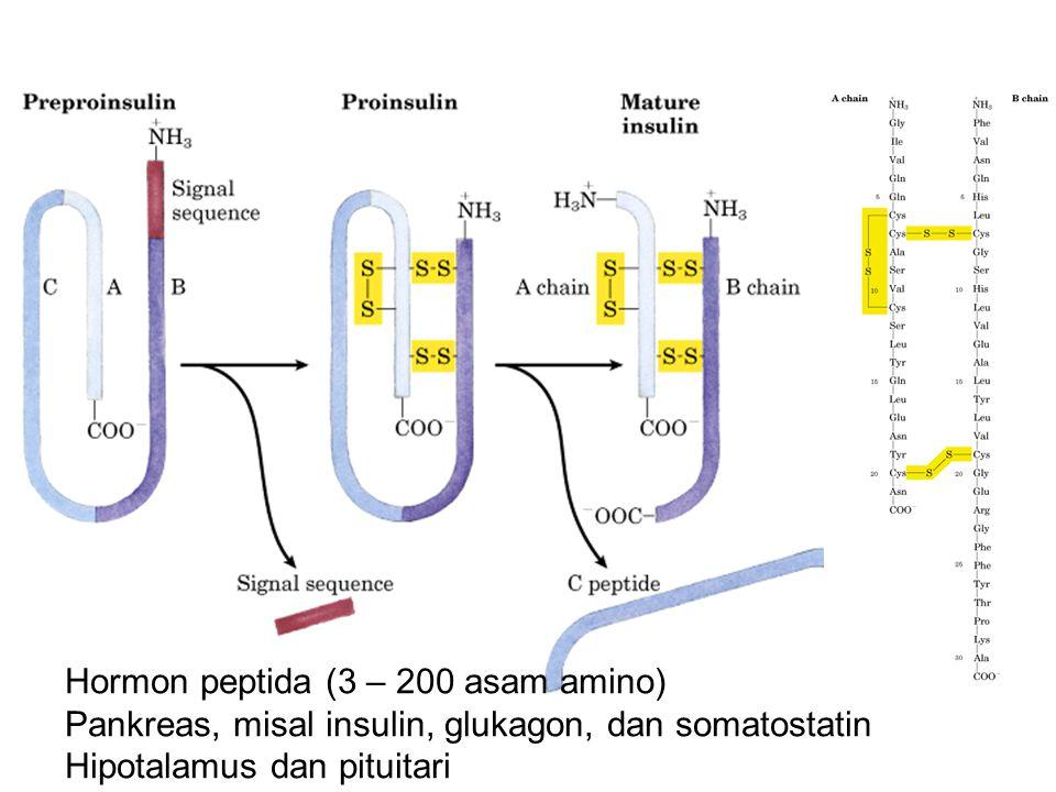 Hormon peptida (3 – 200 asam amino)