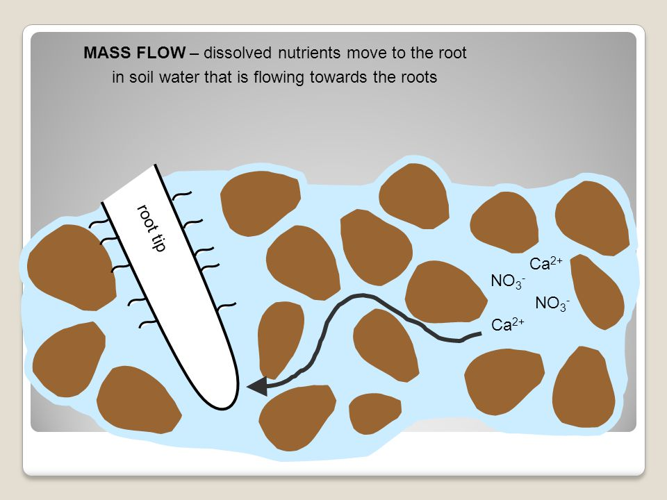 MASS FLOW – dissolved nutrients move to the root
