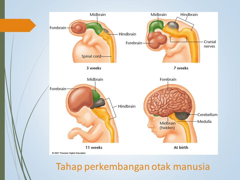 Tahap perkembangan otak manusia