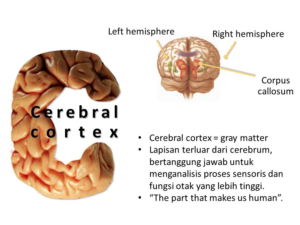 Cerebral cortex Left hemisphere Right hemisphere Corpus callosum
