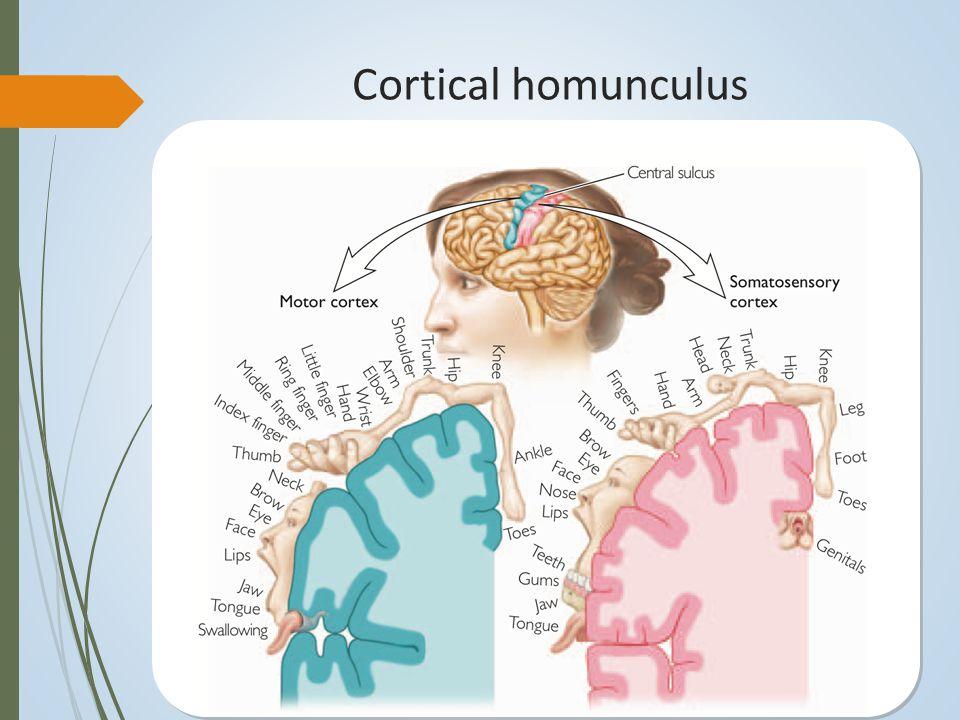 Cortical homunculus