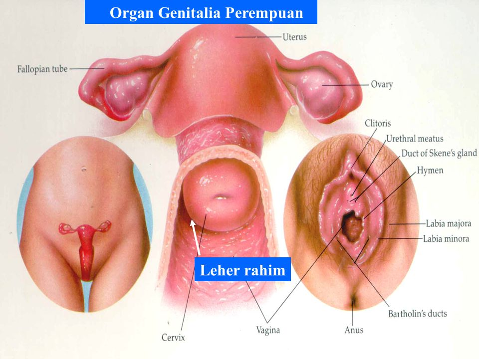 Organ Genitalia Perempuan