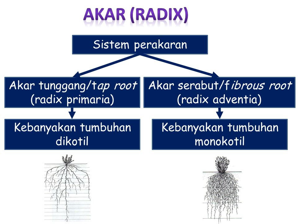 AKAR (RADIX) Sistem perakaran Akar tunggang/tap root (radix primaria)