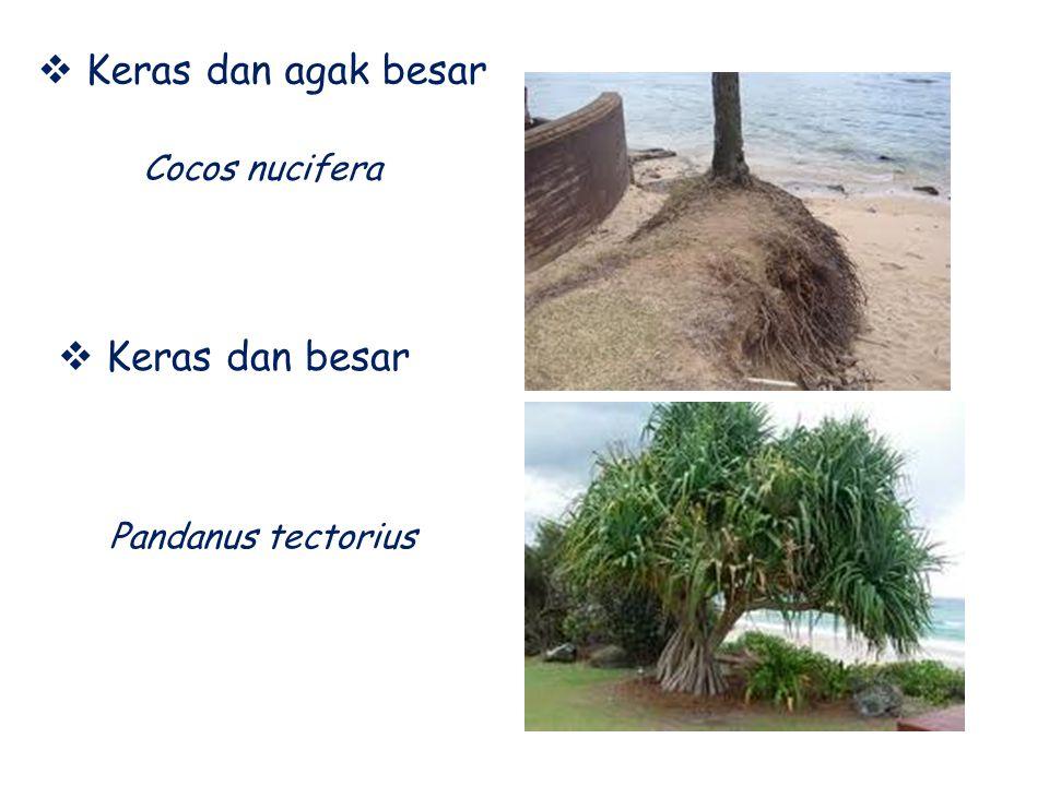 Keras dan agak besar Cocos nucifera Keras dan besar Pandanus tectorius