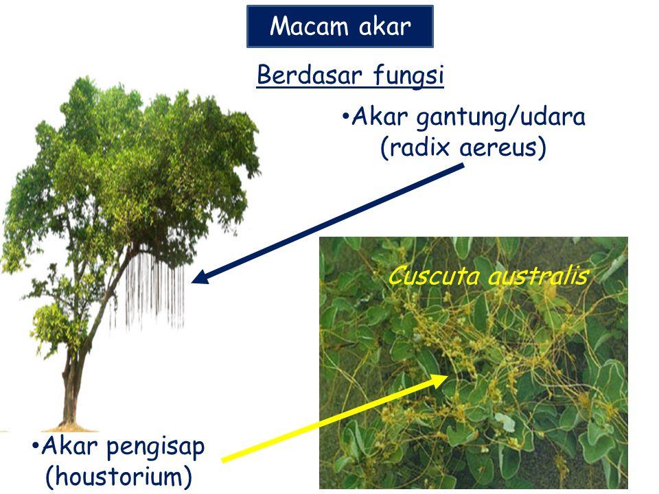 Akar gantung/udara (radix aereus)