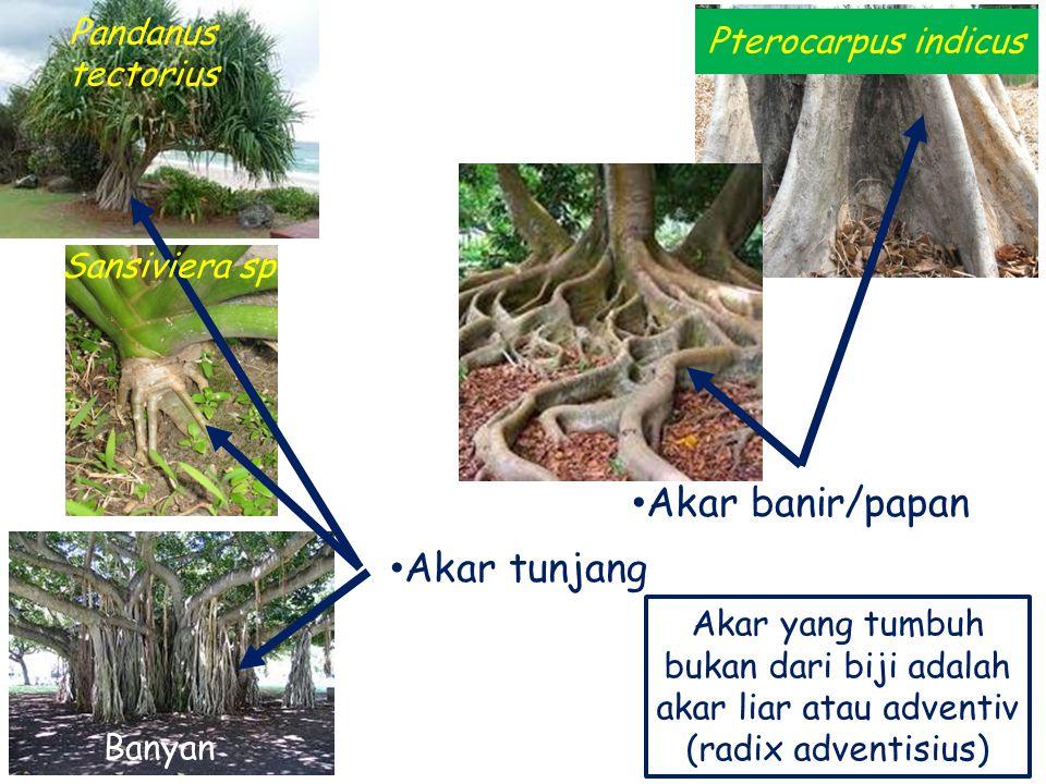 Akar banir/papan Akar tunjang Pandanus tectorius Pterocarpus indicus