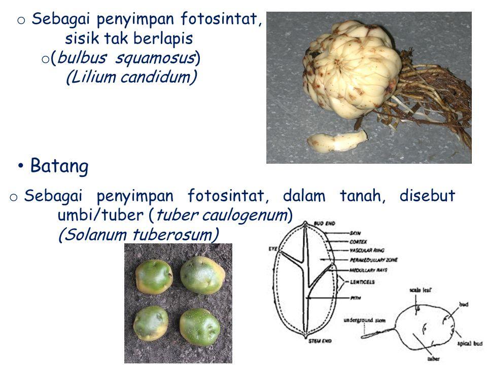 Batang Sebagai penyimpan fotosintat, sisik tak berlapis