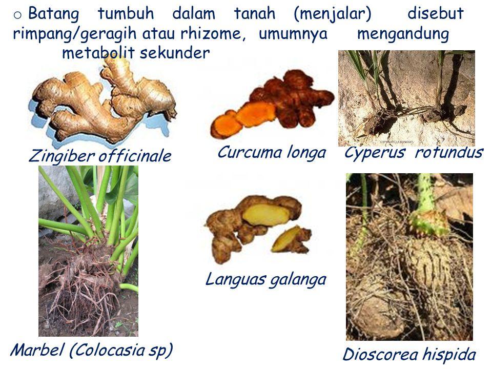 Batang tumbuh dalam tanah (menjalar) disebut rimpang/geragih atau rhizome, umumnya mengandung metabolit sekunder (