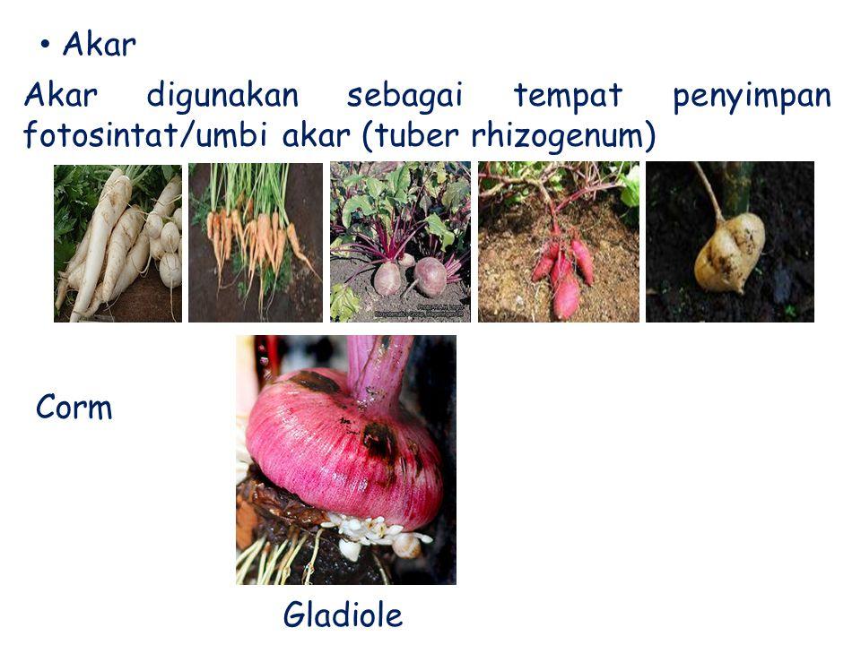 Akar Akar digunakan sebagai tempat penyimpan fotosintat/umbi akar (tuber rhizogenum) Corm Gladiole