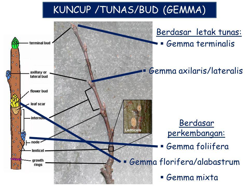 KUNCUP /TUNAS/BUD (GEMMA)
