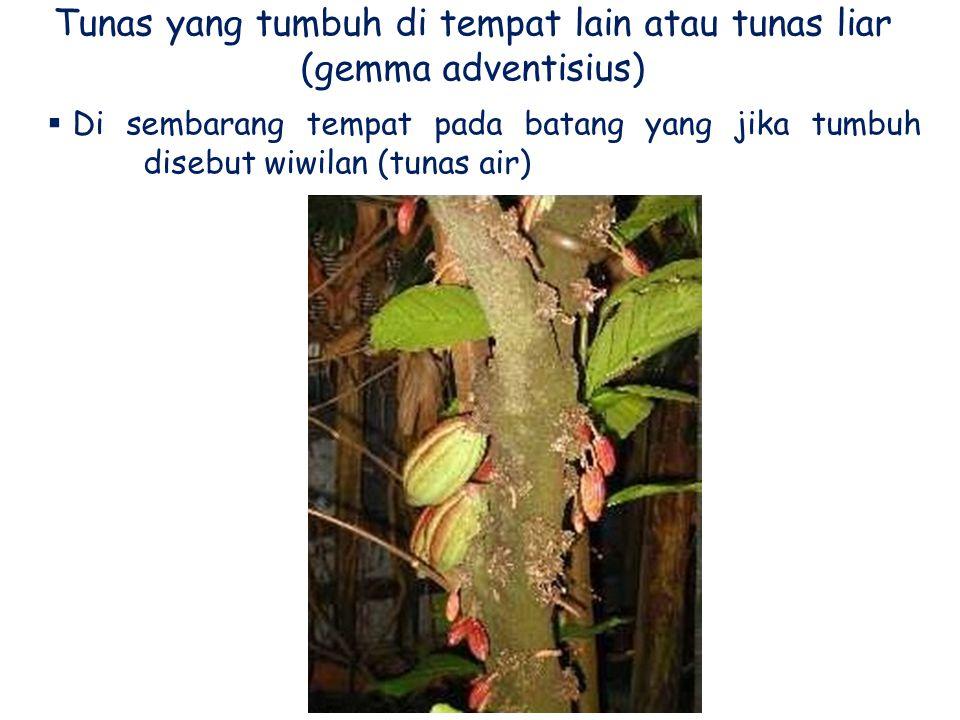Tunas yang tumbuh di tempat lain atau tunas liar (gemma adventisius)