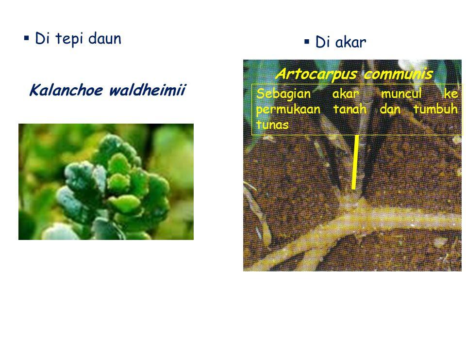 Di tepi daun Di akar Artocarpus communis Kalanchoe waldheimii