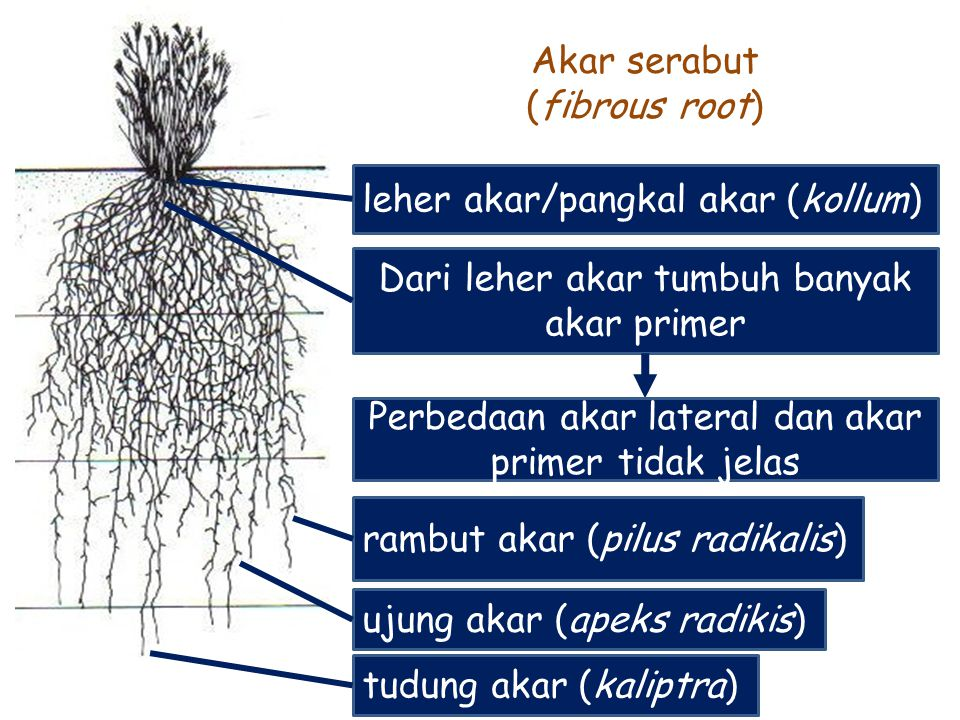 Akar serabut (fibrous root)