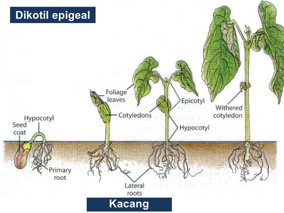Dikotil epigeal Kacang