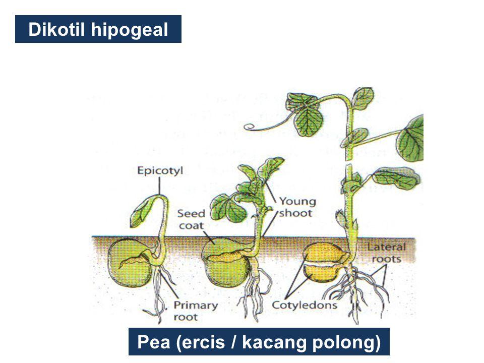 Pea (ercis / kacang polong)