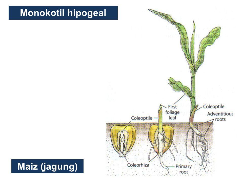 Monokotil hipogeal Maiz (jagung)