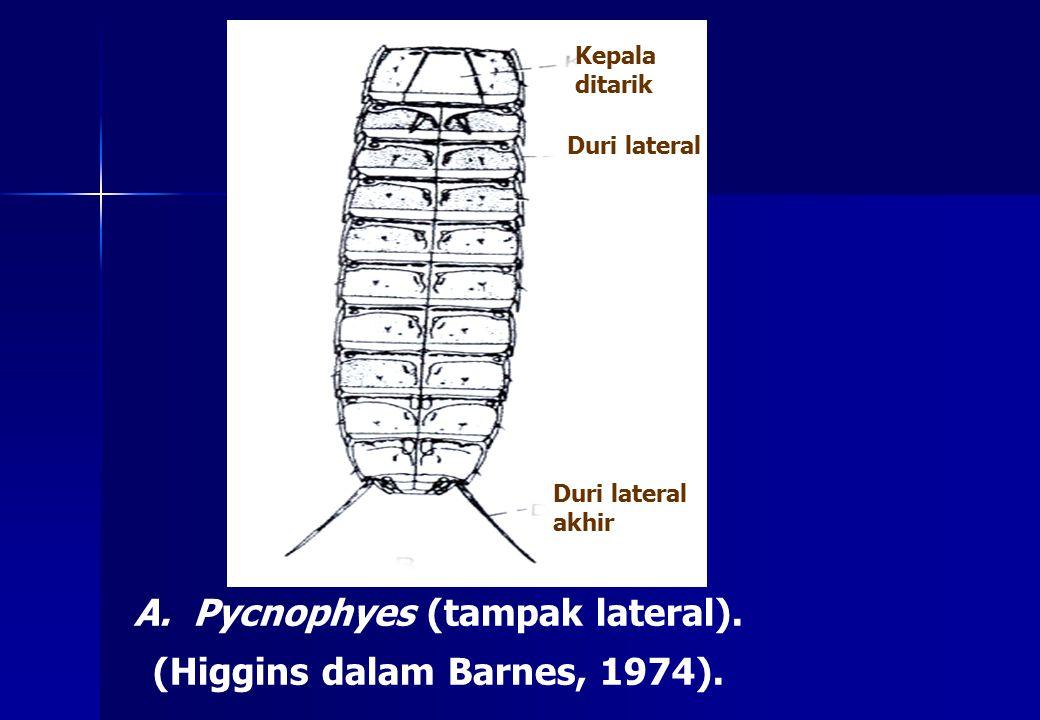 Pycnophyes (tampak lateral). (Higgins dalam Barnes, 1974).