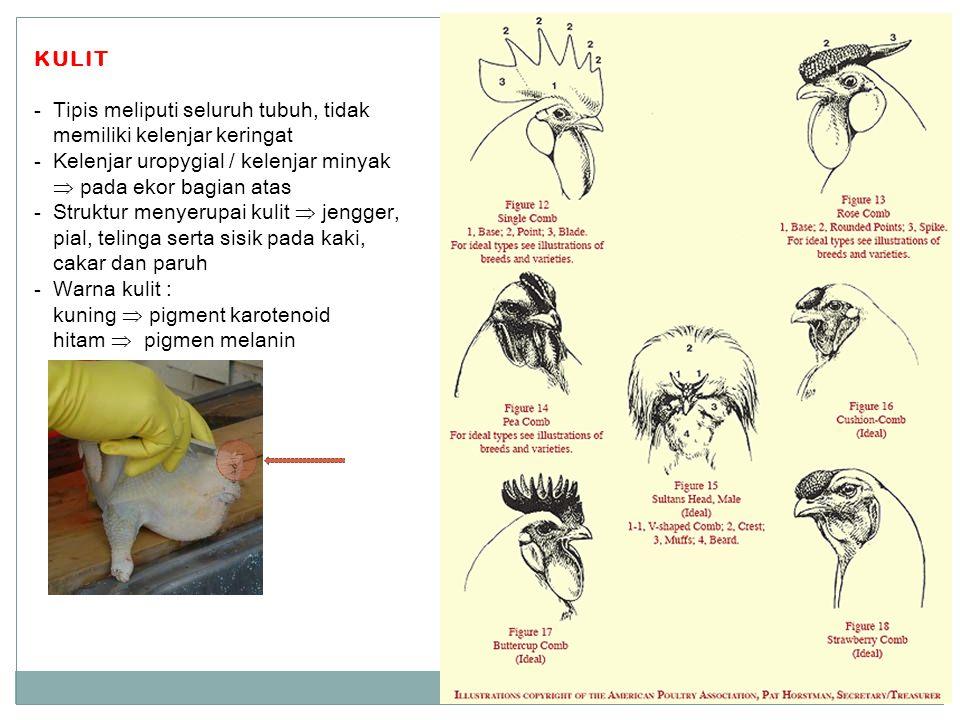 KULIT Tipis meliputi seluruh tubuh, tidak memiliki kelenjar keringat. Kelenjar uropygial / kelenjar minyak  pada ekor bagian atas.