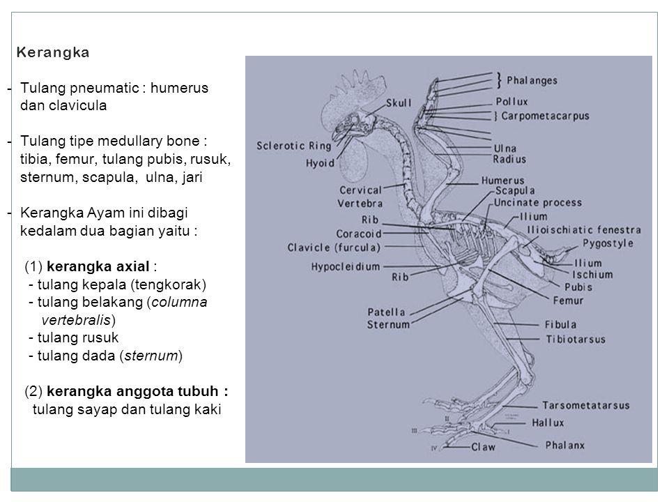 Kerangka Tulang pneumatic : humerus dan clavicula. Tulang tipe medullary bone : tibia, femur, tulang pubis, rusuk, sternum, scapula, ulna, jari.
