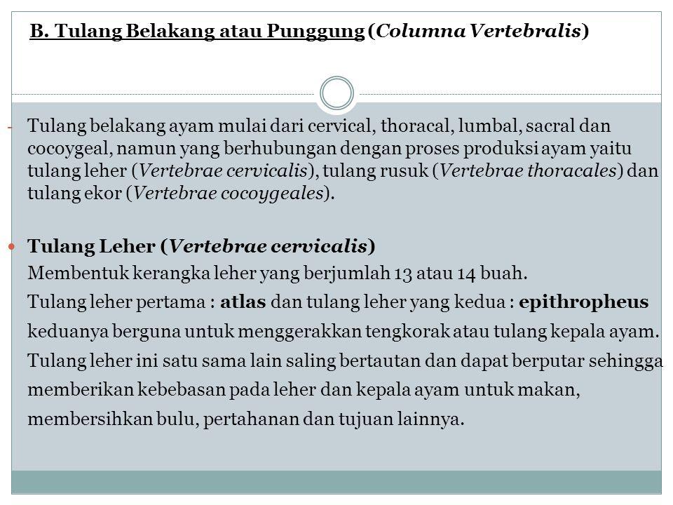 B. Tulang Belakang atau Punggung (Columna Vertebralis)