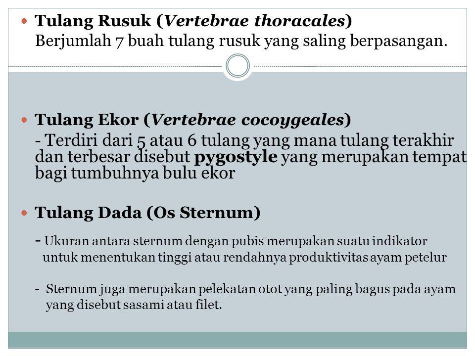 Tulang Rusuk (Vertebrae thoracales)