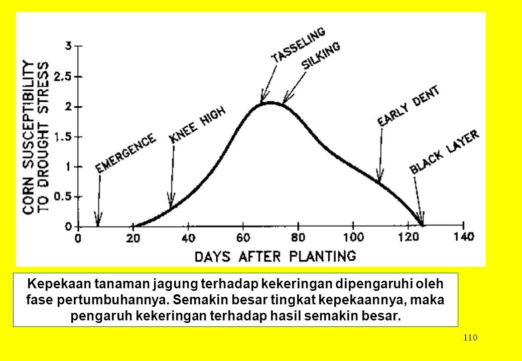 Kepekaan tanaman jagung terhadap kekeringan dipengaruhi oleh fase pertumbuhannya.