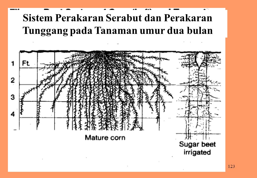 Sistem Perakaran Serabut dan Perakaran Tunggang pada Tanaman umur dua bulan