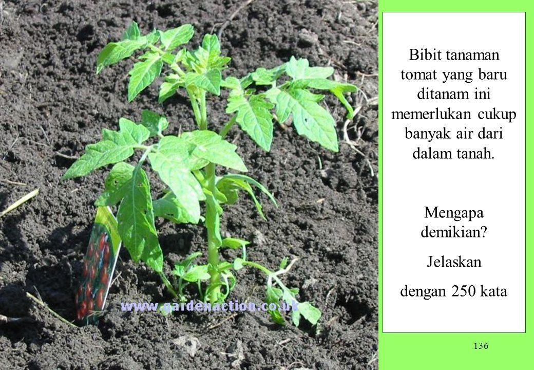 Bibit tanaman tomat yang baru ditanam ini memerlukan cukup banyak air dari dalam tanah.