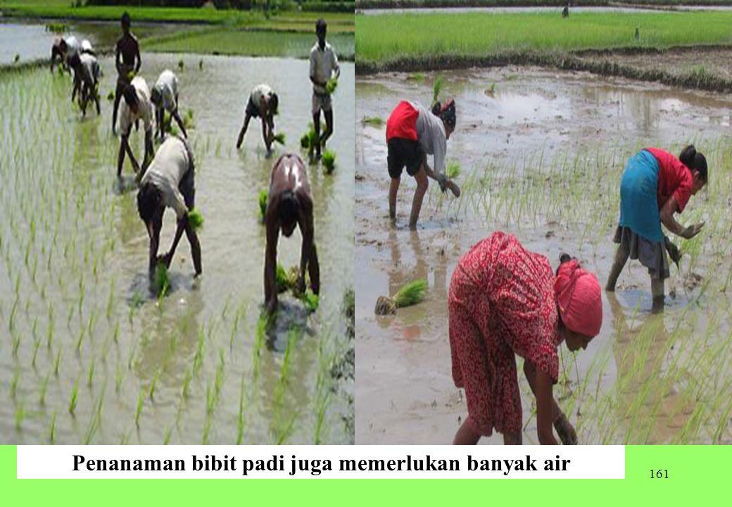 Penanaman bibit padi juga memerlukan banyak air