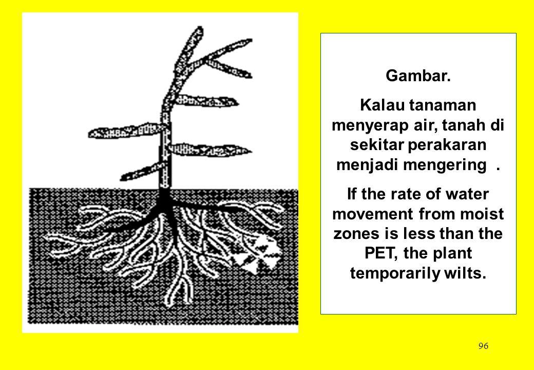 Gambar. Kalau tanaman menyerap air, tanah di sekitar perakaran menjadi mengering .