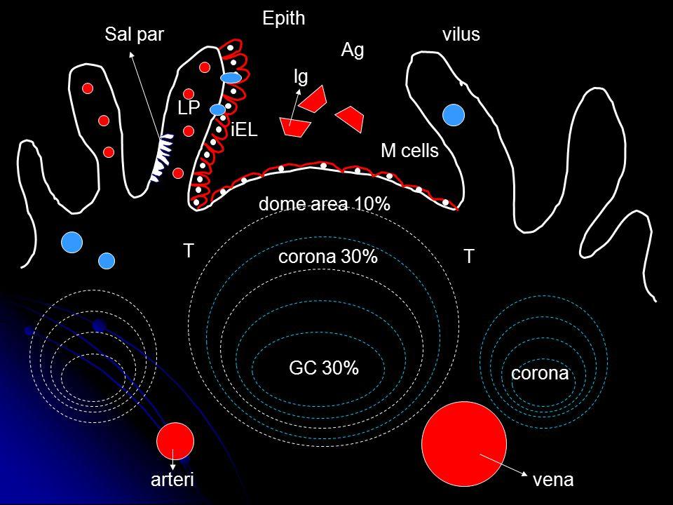 Epith Sal par vilus Ag lg LP iEL M cells dome area 10% T corona 30% T GC 30% corona arteri vena
