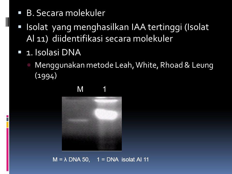 B. Secara molekuler Isolat yang menghasilkan IAA tertinggi (Isolat Al 11) diidentifikasi secara molekuler.
