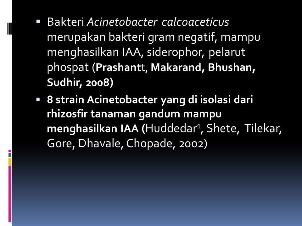 Bakteri Acinetobacter calcoaceticus merupakan bakteri gram negatif, mampu menghasilkan IAA, siderophor, pelarut phospat (Prashantt, Makarand, Bhushan, Sudhir, 2008)