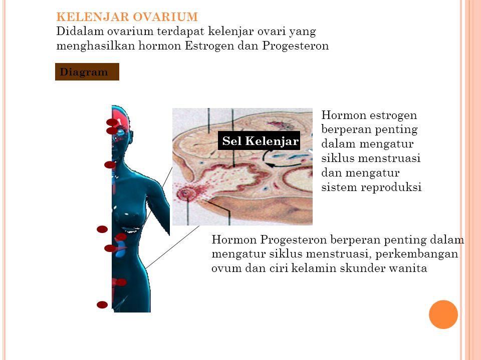 KELENJAR OVARIUM Didalam ovarium terdapat kelenjar ovari yang menghasilkan hormon Estrogen dan Progesteron.