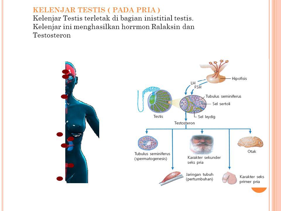 KELENJAR TESTIS ( PADA PRIA )