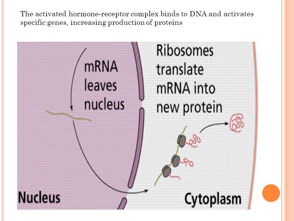 The activated hormone-receptor complex binds to DNA and activates specific genes, increasing production of proteins