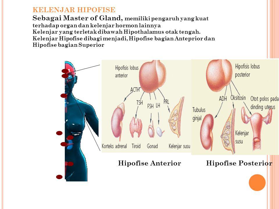 KELENJAR HIPOFISE Sebagai Master of Gland, memiliki pengaruh yang kuat terhadap organ dan kelenjar hormon lainnya.