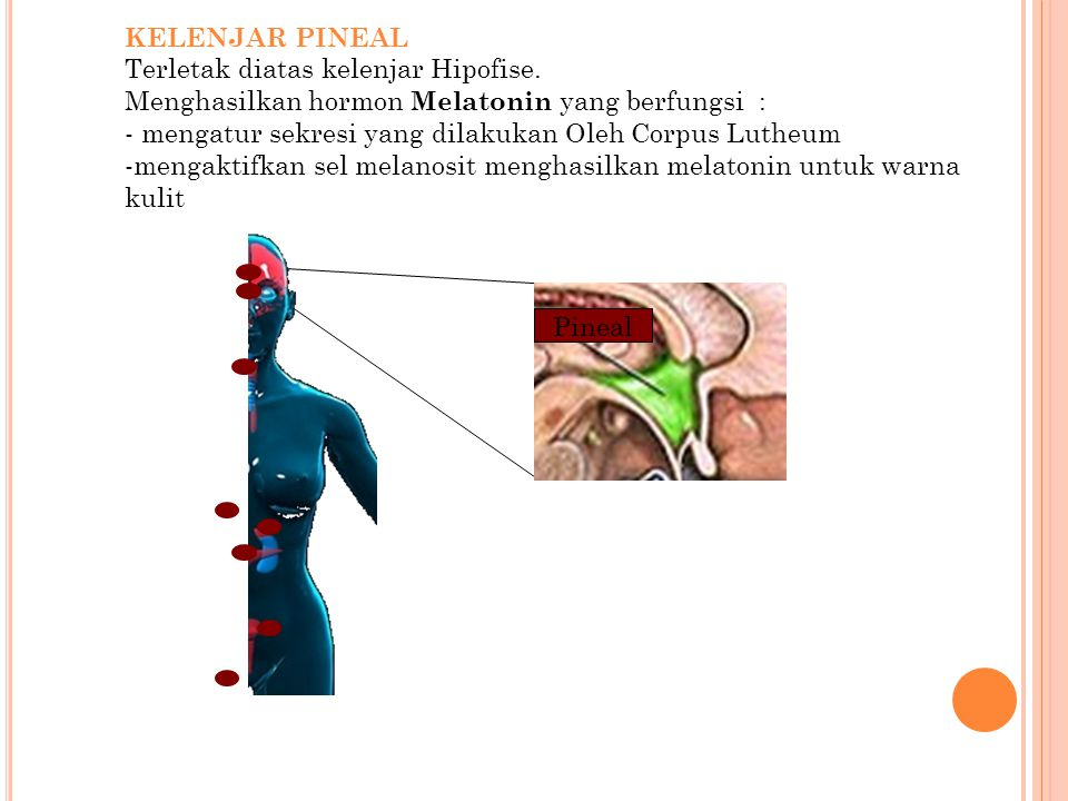 KELENJAR PINEAL Terletak diatas kelenjar Hipofise. Menghasilkan hormon Melatonin yang berfungsi :
