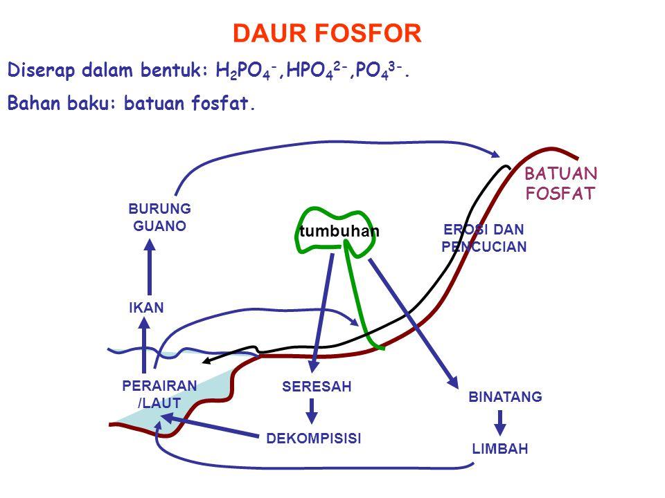 DAUR FOSFOR Diserap dalam bentuk: H2PO4-,HPO42-,PO43-.