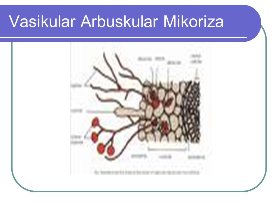 Vasikular Arbuskular Mikoriza