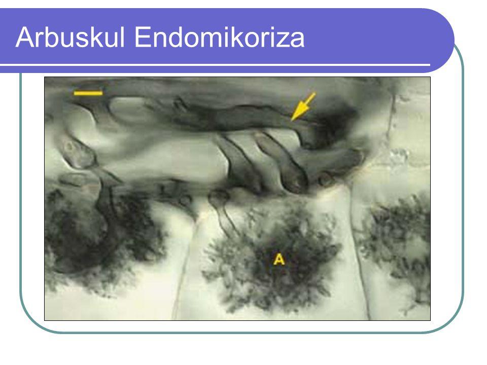 Arbuskul Endomikoriza