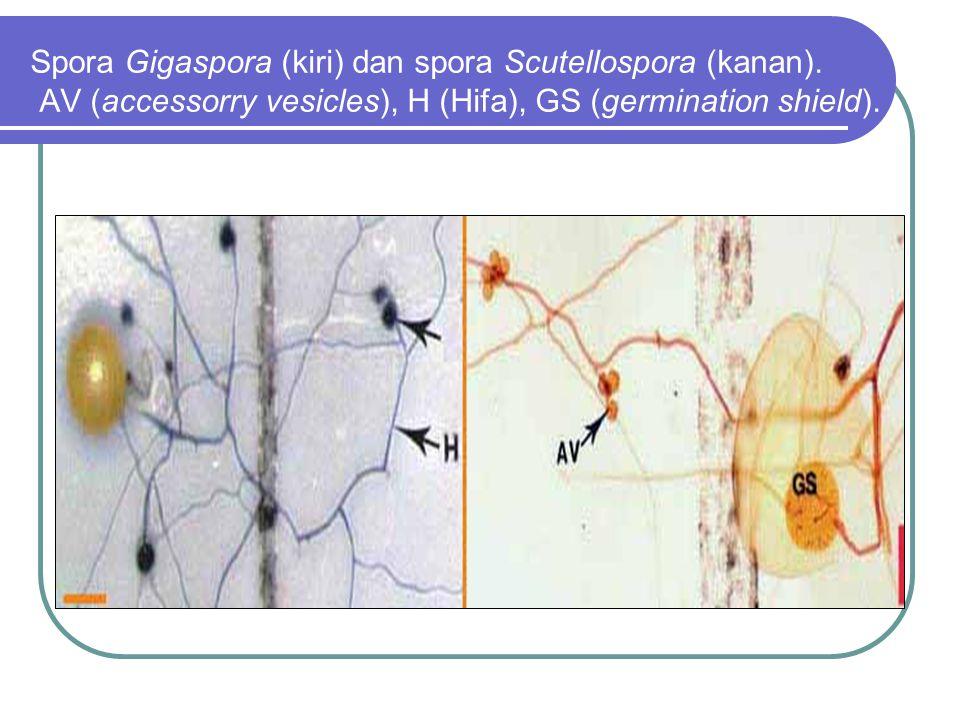 Spora Gigaspora (kiri) dan spora Scutellospora (kanan)