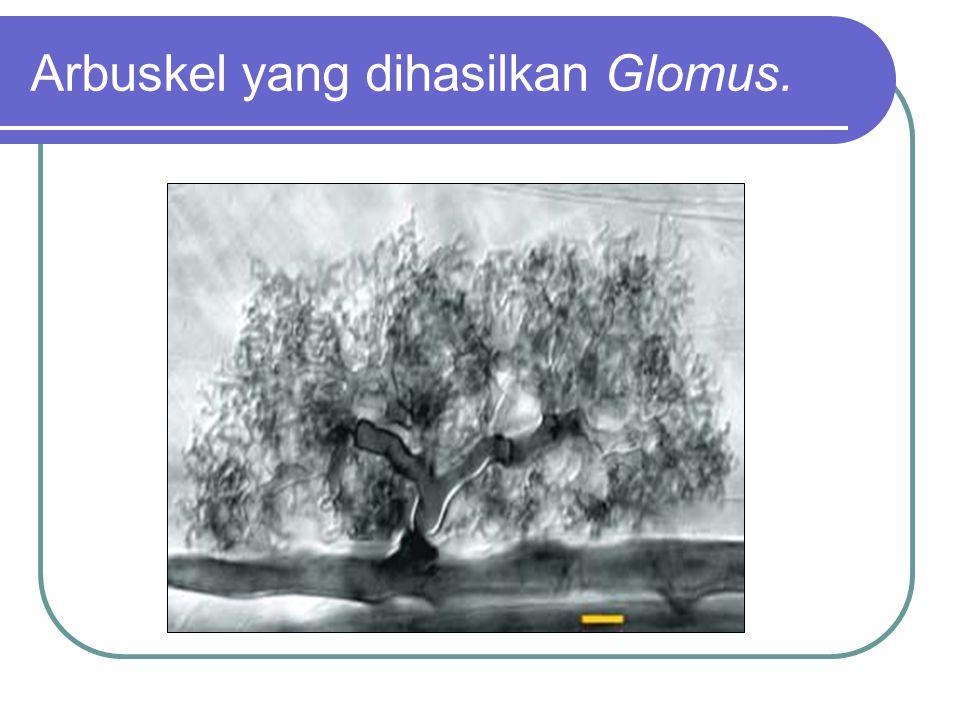 Arbuskel yang dihasilkan Glomus.