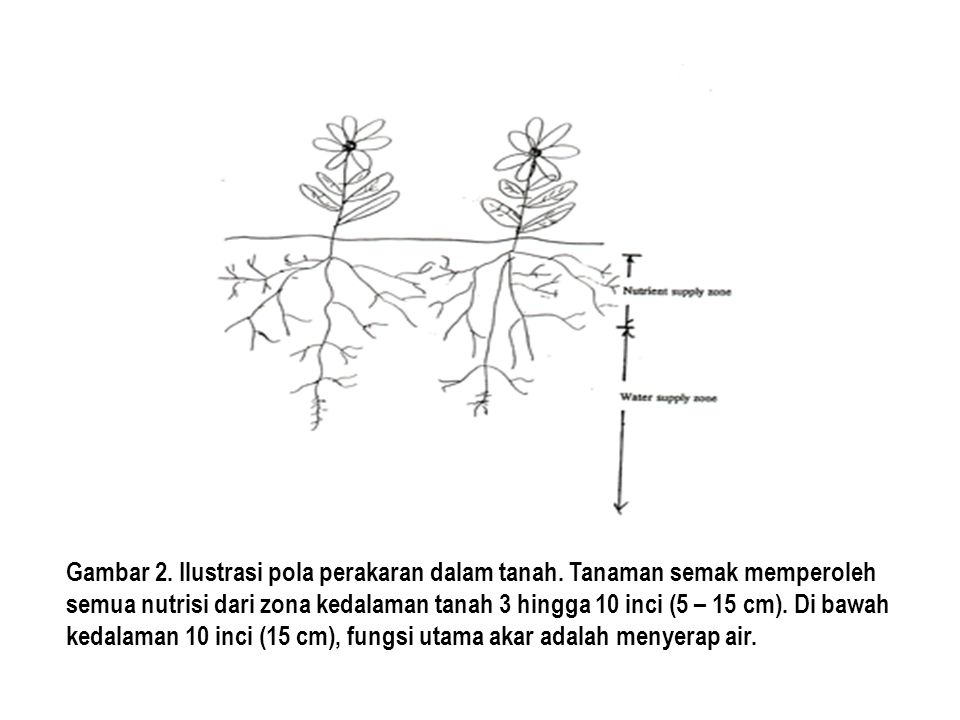 Gambar 2. Ilustrasi pola perakaran dalam tanah
