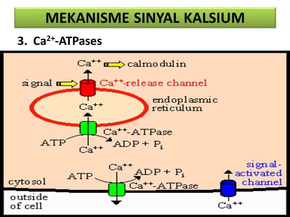 MEKANISME SINYAL KALSIUM