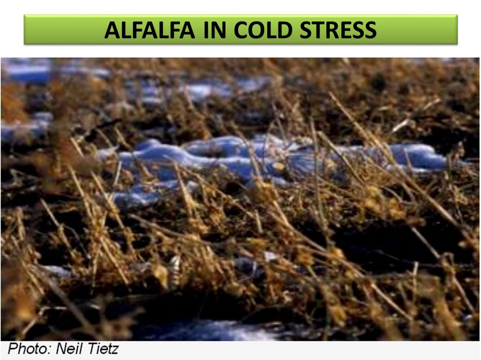 ALFALFA IN COLD STRESS