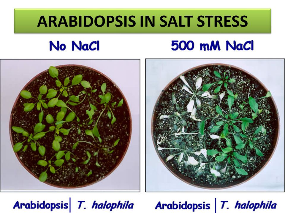 ARABIDOPSIS IN SALT STRESS